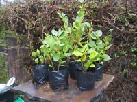SURPLUS POT GROWN GRISELINIA PLANTS X 6