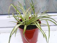 spider plant, largish