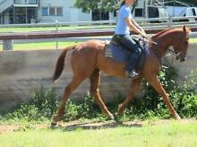 3 YEAR OLD THOROUGHBRED GELDING Tansey Gympie Area Preview