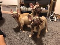 French bulldog puppies 2 female fawn&chocolate face 1 male beige&chocolate face &green eyes