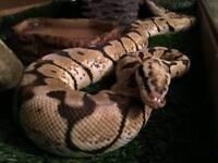 Royal Python for sale with setup