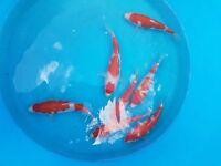 fish koi carp