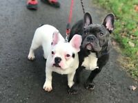 Two beautiful French bull dogs (brothers)