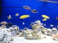 Aquarium 230l $ fish Malawi