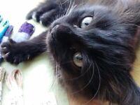 Gorgeous Black Female Ragdoll Kitten 3 months
