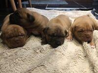 Male Dogue De Bordeaux Puppies