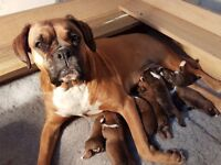stunning boxer puppies