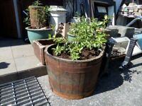Fantastic Oak Barrel Planter Planted with a shrub