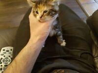 persian half kitten