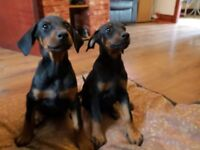Gorgeous doberman puppies for sale