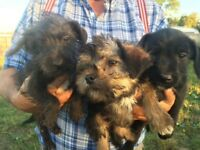 Borderpoo cross toy poodle puppies