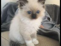 Ragdoll kittens bi colour and colour point available
