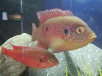 Jewell cichllid fry..10 for £10