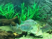 Tropical Fish, silver dollars, keyhole cichlids & upside down catfish