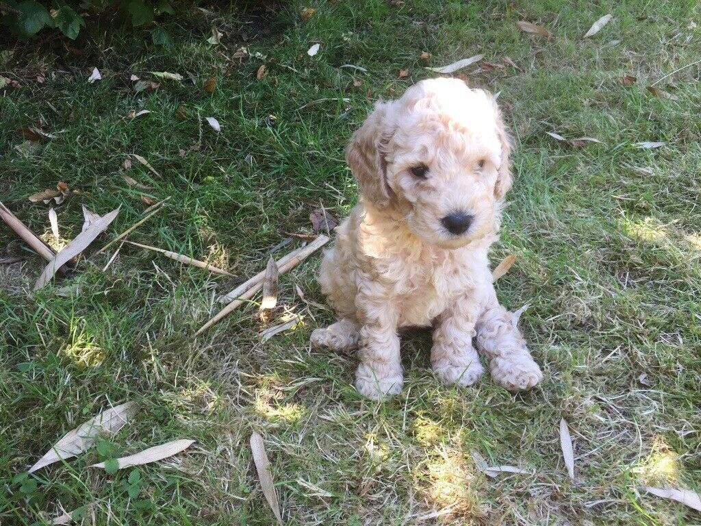 Gorgeous F1b Cockapoo Puppy looking for his forever home | in Bournemouth,  Dorset | Gumtree