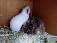 Pair of very cute male guinea pigs