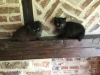 Two British Shorthair X kittens for sale - reduced to £80 each