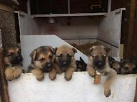 KC registered German shepherd pups
