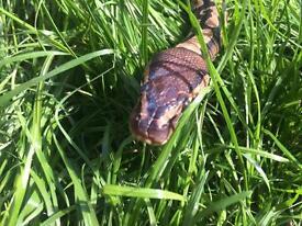Royal pythons