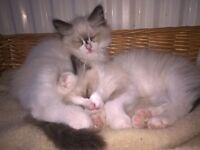 Blue Eye kittens - only Boys left