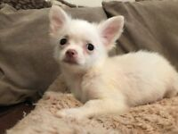 Pomeranian x Chihuahua Puppy Boy