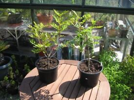 Szechuan Pepper Trees – 3yrs+ old – 2l pots – 1ft tall – UK grown - 9 available