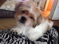 Stunning 6 months old male Shih Tzu puppy.