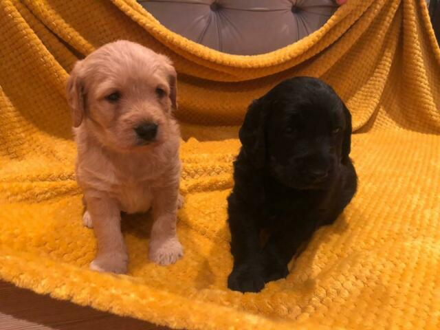 Labradoodle puppies | in Cambridge, Cambridgeshire | Gumtree