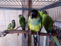 Conure nanday talking parrots