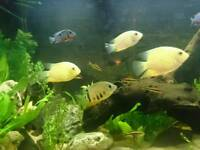 Severums for sale