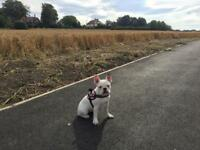 French bulldog female 7 month old