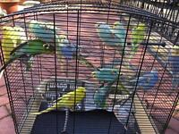Selection of BUDGIES and BRAND NEW Cage