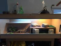 Bearded dragon and vivarium