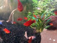 £1 per Red Platy freshwater Tropical fish