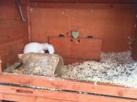 Two female guinea pigs looking for home