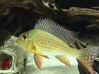 WILD CAUGHT GEOPHAGUS ALFTRONS
