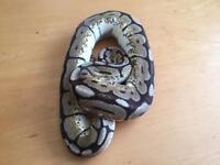 Various royal pythons for sale