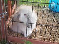 Lovely black and white dwarf lops