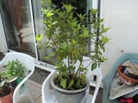 an established bay tree. comes with pot as shown.
