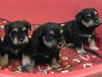 MINIATURE SCHNAUZER PUPPIES