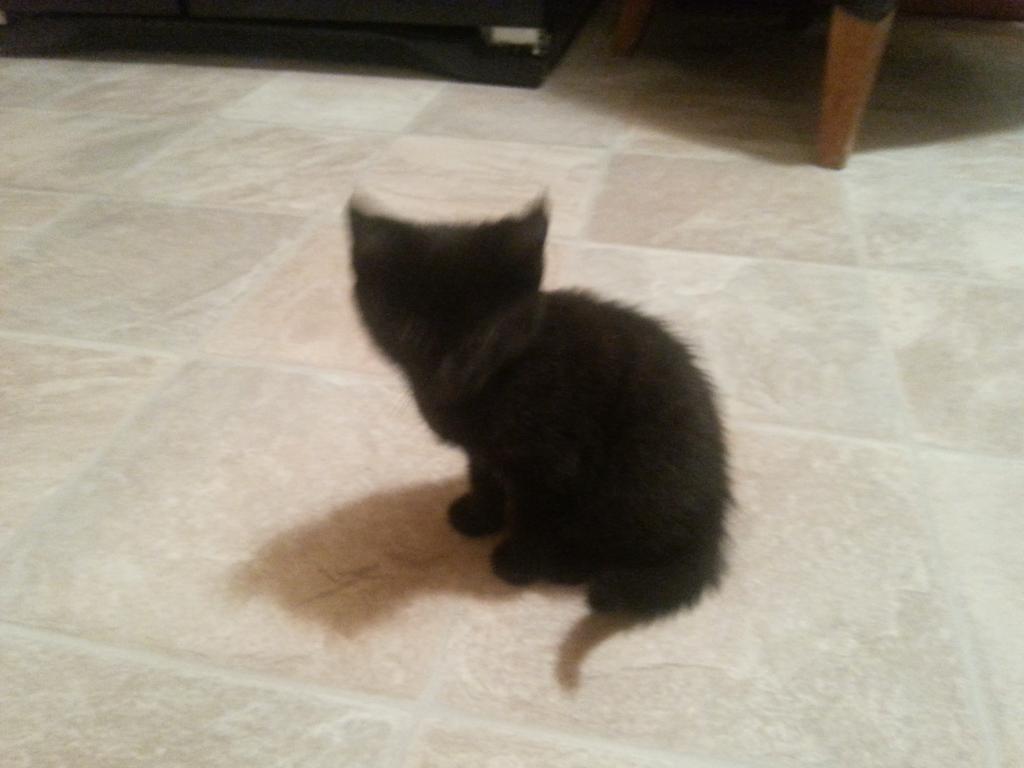 black kittens for sale in Lisburn County Antrim