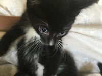 Very Handsome Tuxedo Boy Kitten | 8 weeks old & ready | Very playful. Child friendly |