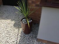 LARGE POT AND PALM PLANT ... TORQUAY ...