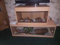 Royal python and set up
