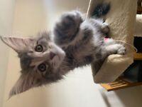 Pedigree Silver Maine Coon Kitten