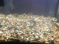 Baby convict cichlids £3 each