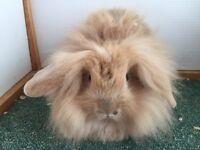 Lionhead Lop Rabbit for sale