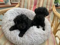 Outstanding Yorkshire terrier x poodle puppies