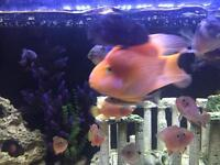 19 Cichlids for sale including parrot jack Dempsey jewels convicts and more