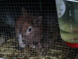 2 rabbits for sale